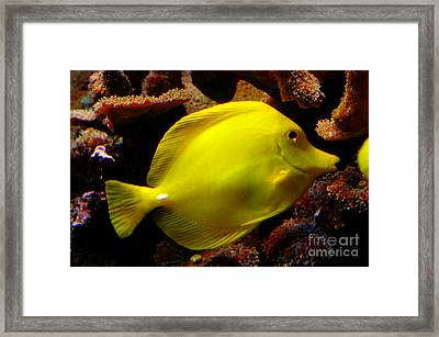 Yellow Tang Framed Print by Pravine Chester