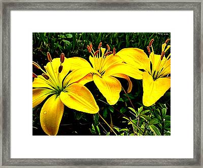 Yellow Triad Of Lilies Framed Print by Kevin D Davis