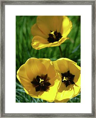 Yellow Trio Framed Print by Pamela Patch