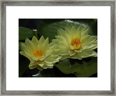 Yellow Water Lilies Framed Print by Chad and Stacey Hall