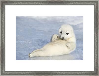 Yellowcoat Harp Seal Pup Framed Print by Daisy Gilardini