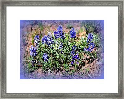 Yellowstone Lupine Blue Framed Print by Carol Groenen