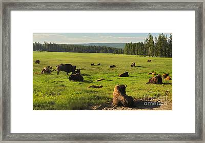 Yellowstone National Park Bison - 03 Framed Print by Gregory Dyer