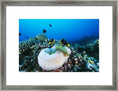Yellowtail Anemonefish By Their Anemone Framed Print by Alexis Rosenfeld