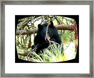 Young Black Bear Framed Print by Will Borden