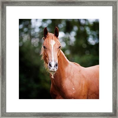 Young Brown Quarter Horse Framed Print by Jorja M. Vornheder