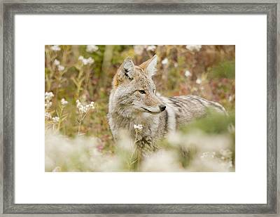 Young Coyote Canis Latrans In A Forest Framed Print by Philippe Widling