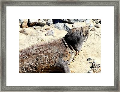 Young Elephant Seal Molting . 7d16118 Framed Print by Wingsdomain Art and Photography