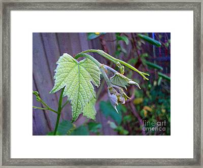 Young Grape Leaves Framed Print by Padre Art