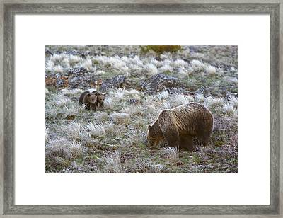 Young Grizzly Cubs Play As Their Mother Framed Print by Drew Rush
