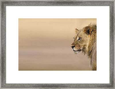 Young Male Lion (panthera Leo) On The Lookout Framed Print by Heinrich van den Berg