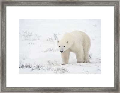 Young Polar Bear Ursus Maritimus Walks Framed Print by Richard Wear