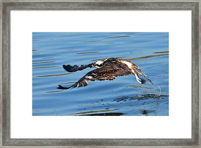 Young Raptor Framed Print by Fraida Gutovich