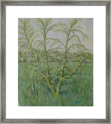 Young Willow Framed Print by Joann Renner