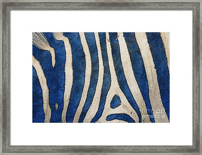 Zebra In Blue Framed Print by Jutta Maria Pusl
