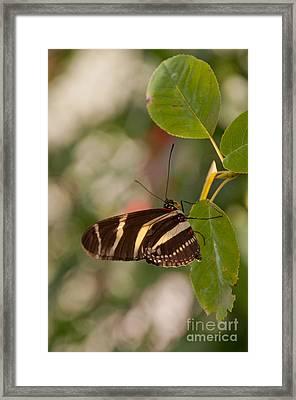 Zebra Longwing Butterfly Framed Print by Dejan Jovanovic