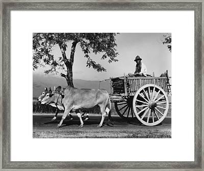 Zebu Cart Framed Print by Richard Harrington