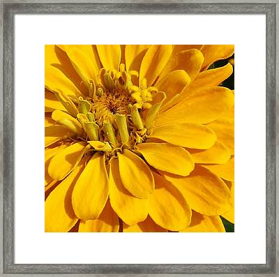 Zinnia Close Up Framed Print by Bruce Bley