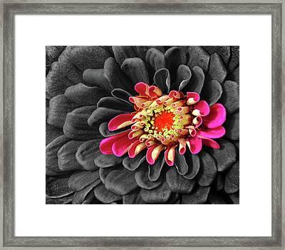 Zinnia Framed Print by Dave Mills