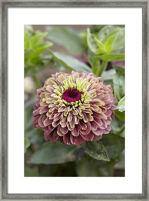 Zinnia Elegans Queen Red Lime Variety Framed Print by VisionsPictures