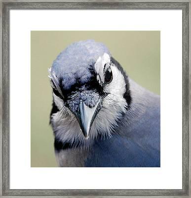 Blue Jay Framed Print by Skip Willits