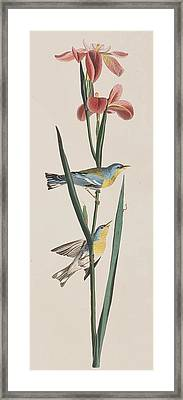 Blue Yellow-backed Warbler Framed Print by John James Audubon