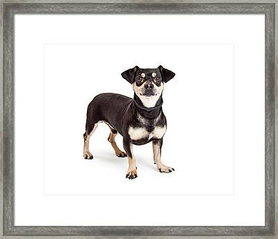 Chihuahua And Dachshund Mixed Breed Dog Standing  Framed Print by Susan  Schmitz