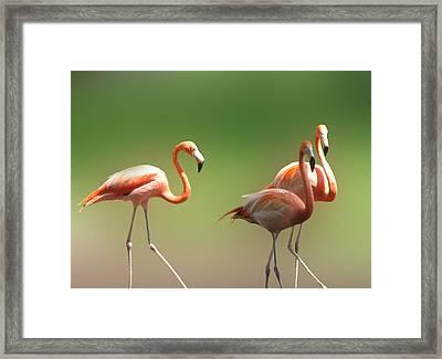 Flamingos  Framed Print by Art Spectrum