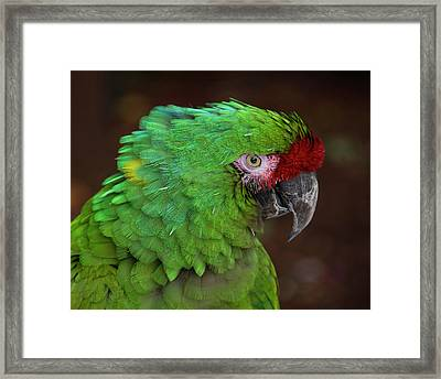 Great Green Macaw Ara Ambiguus Framed Print by Mitch Spence