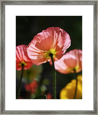 Icelandic Poppies Framed Print by Rona Black