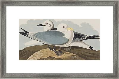 Kittiwake Gull Framed Print by John James Audubon
