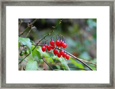 Poisonous Red Berries Of Woody Nightshade Framed Print by Dragan Nikolic