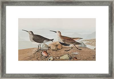 Red Backed Sandpiper Framed Print by John James Audubon