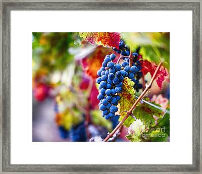 Ripe Blue Grapes On The Vine Framed Print by George Oze
