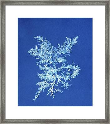 19th-century Alga Cyanotype Framed Print by Spencer Collectionnew York Public Library