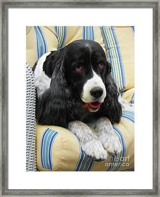 #940 D1031 Farmer Browns Springer Spaniel Framed Print by Robin Lee Mccarthy Photography