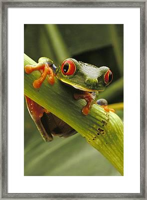 A Red-eyed Tree Frog Agalychnis Framed Print by Steve Winter