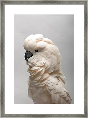 A Salmon-crested Cockatoo Framed Print by Joel Sartore