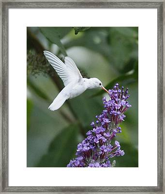 Albino Ruby-throated Hummingbird Framed Print by Kevin Shank Family