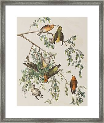 American Crossbill Framed Print by John James Audubon
