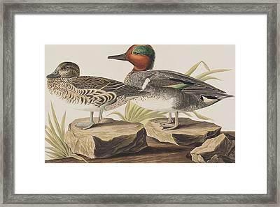 American Green-winged Teal Framed Print by John James Audubon