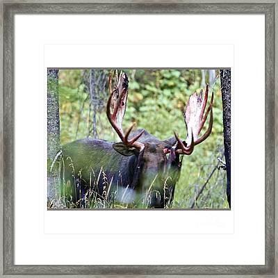 American Wild Animals Antlers Moose Deer Tshirts Pillows Posters Duvet Covers Shower Curtains Phone  Framed Print by Navin Joshi