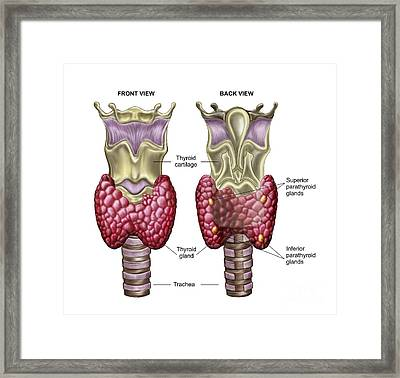Anatomy Of Thyroid Gland With Larynx & Framed Print by Stocktrek Images