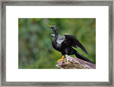 Anhinga Anhinga Anhinga Perching Framed Print by Panoramic Images