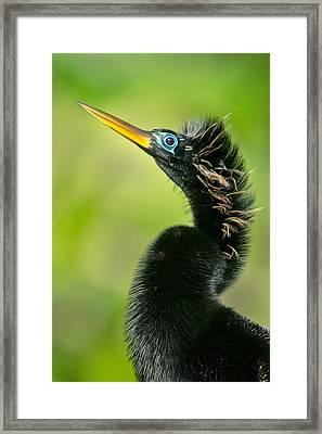 Anhinga Anhinga Anhinga, Tortuguero Framed Print by Panoramic Images