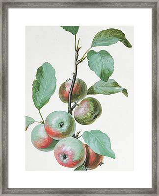 Apples Framed Print by Pierre Joseph Redoute