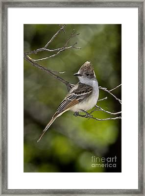 Ash-throated Flycatcher Framed Print by Anthony Mercieca
