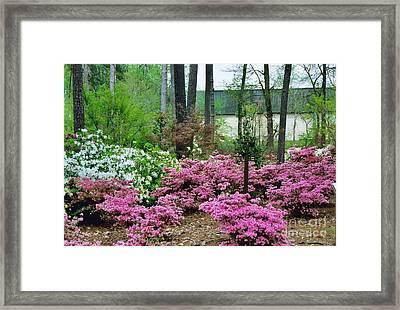 Azaleas In Texas Framed Print by Ruth  Housley