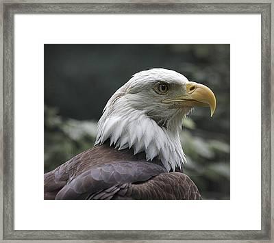 Bald Eagle Framed Print by Yosi Cupano