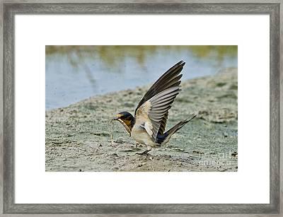 Barn Swallow Framed Print by Anthony Mercieca